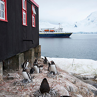 Gentoo penguins nesting at Port Lockroy, Antarctica, where the former British Base A buildings are now used as a museum, gift shop, and research station. The National Geographic Explorer is anchored in the harbor.