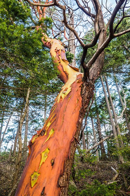 Madrone tree on Cypress head, Cypress Island, San Juan Islands, Washington, USA.
