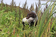 Six-month Old Labrador Retriever Makes His First Retrieve During a Manitoba Waterfowl Hunt