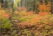 Colorful autmn foliage covers the forest floor along a dry creekbed in Gifford Pinchot National Forest