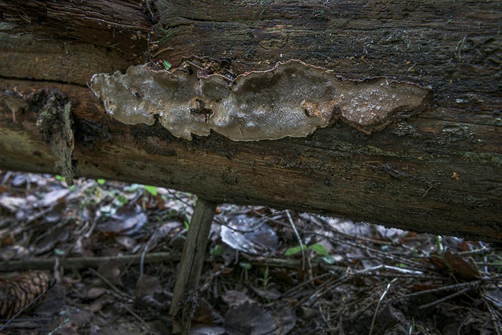 Fungi Phellinus nigrolimitatus growing on underside of fallen spruce tree in dark and humid forest near river Amata, near Velmeri, Vidzeme, Latvia Ⓒ Davis Ulands   davisulands.com