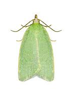 49.059 (1033)<br /> Green Oak Tortrix - Tortrix viridana