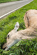 Dead deer by country road, Charlbury, Oxfordshire, United Kingdom