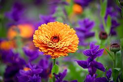 Calendula officinalis 'Indian Prince' - English marigold, Pot marigold - with Salvia viridis 'Blue'