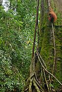 A Sumatran orangutan hangs out on a mossy tree trunk, revealing lots of rainforest context.