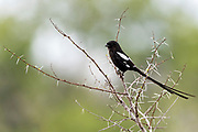 Magpie shrike (Urolestes melanoleucus) from Kruger NP, South Africa.