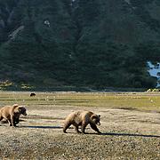 Alaskan Brown Bear (Ursus middendorffi) in Katmai National Park. Alaska.