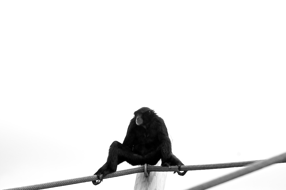 May 8, 2011; Norfolk, VA, USA;  A monkey at the Virginia Zoo. Mandatory Credit: Peter Casey