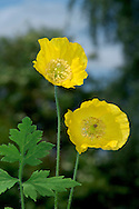 WELSH POPPY Meconopsis cambrica (Papaveraceae) Height to 50cm. Showy perennial of shady woods. FLOWERS are 5-8cm across with 4 overlapping, bright yellow petals; borne on slender stems (Jun-Aug). FRUITS are 4- to 6-ribbed capsules that split when ripe. LEAVES are pinnately divided, toothed and stalked. STATUS-Native to Wales, SW England and Ireland; naturalised as a garden escape elsewhere.