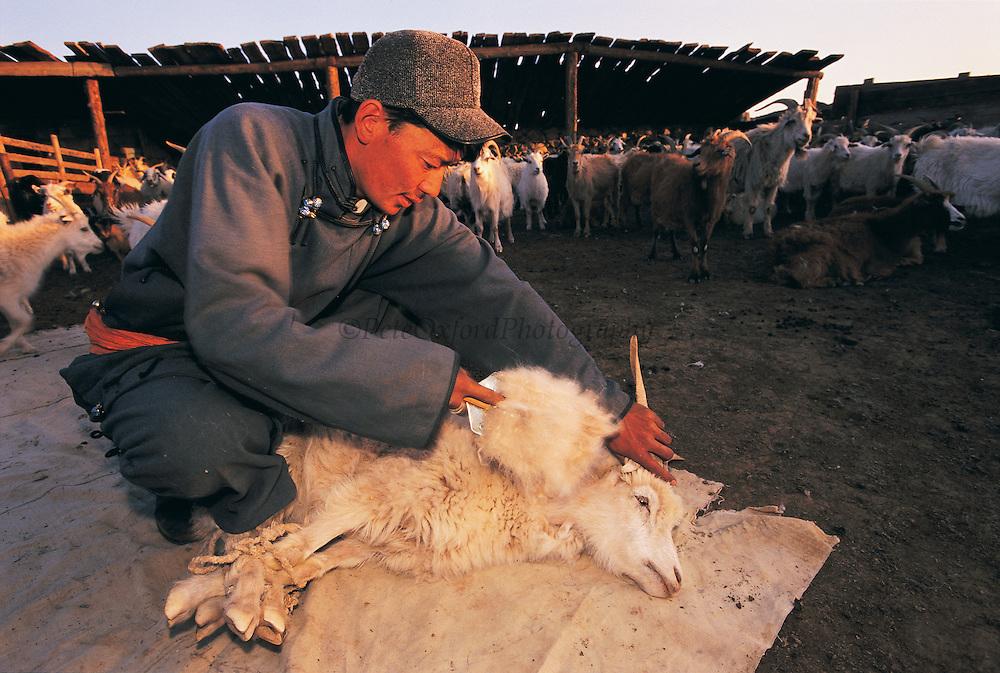 Combing Cashmere goat<br /> Gobi Desert<br /> Mongolia