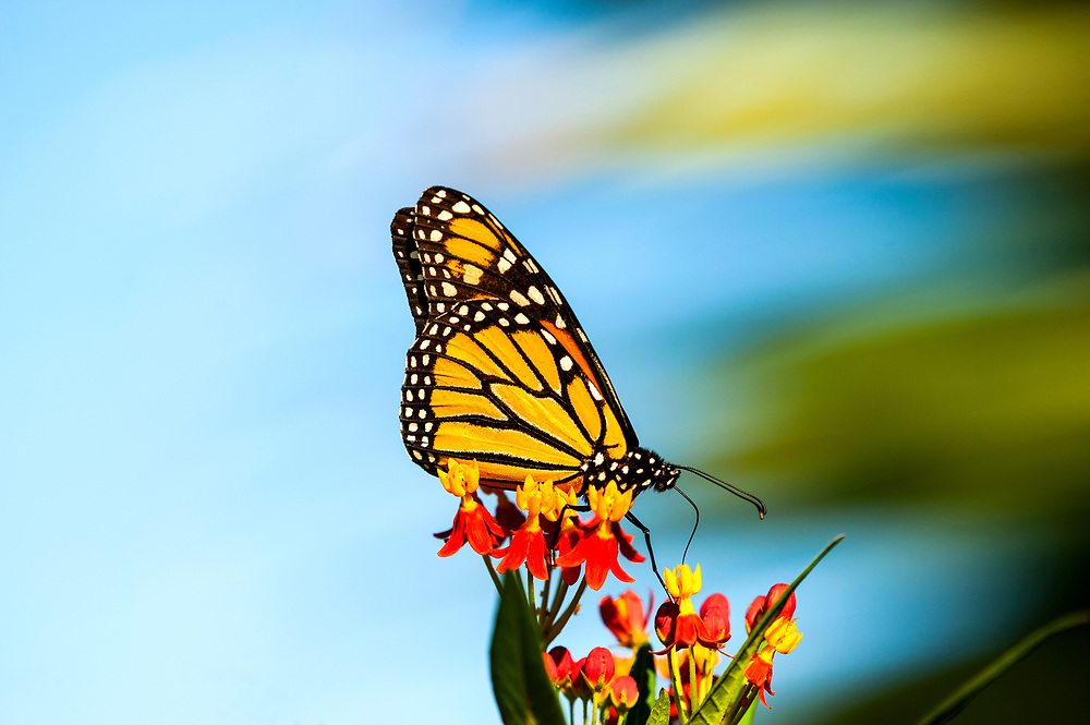 He ventures forth, deliverance ~ on nectar plants, sweet sustenance.