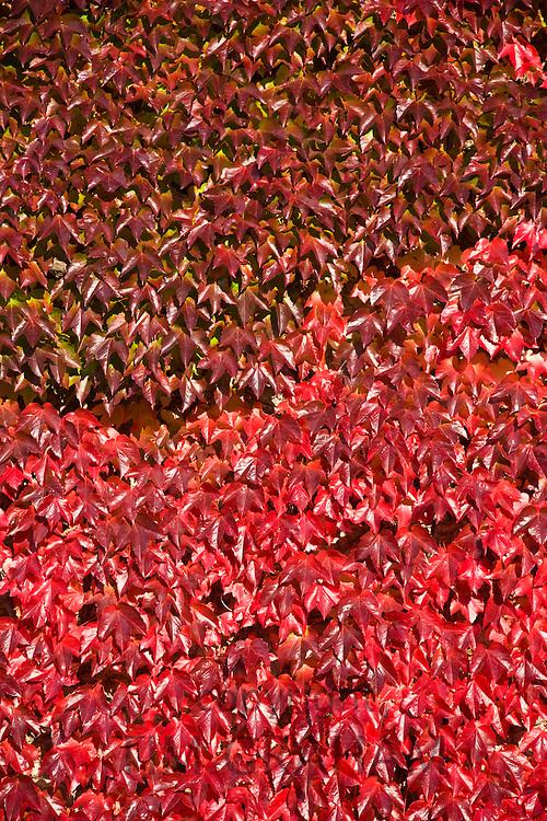 Maple leaves in autumn, Worcestershire, England, United Kingdom