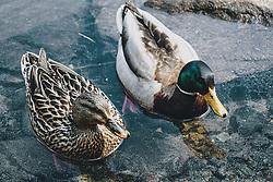 THEMENBILD - Stockenten auf einem See, aufgenommen am 25. April 2020 in Mittersill, Oesterreich // mallards on a lake in Mittersill, Austria on 2020/04/25. EXPA Pictures © 2020, PhotoCredit: EXPA/Stefanie Oberhauser