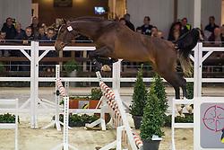 073, Cristo KC De Beau Marais<br /> BWP Hengsten keuring Koningshooikt 2015<br /> © Hippo Foto - Dirk Caremans<br /> 21/01/16