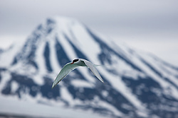 Arctic Tern (Sterna paradisaea) in front of mountains, Svalbard