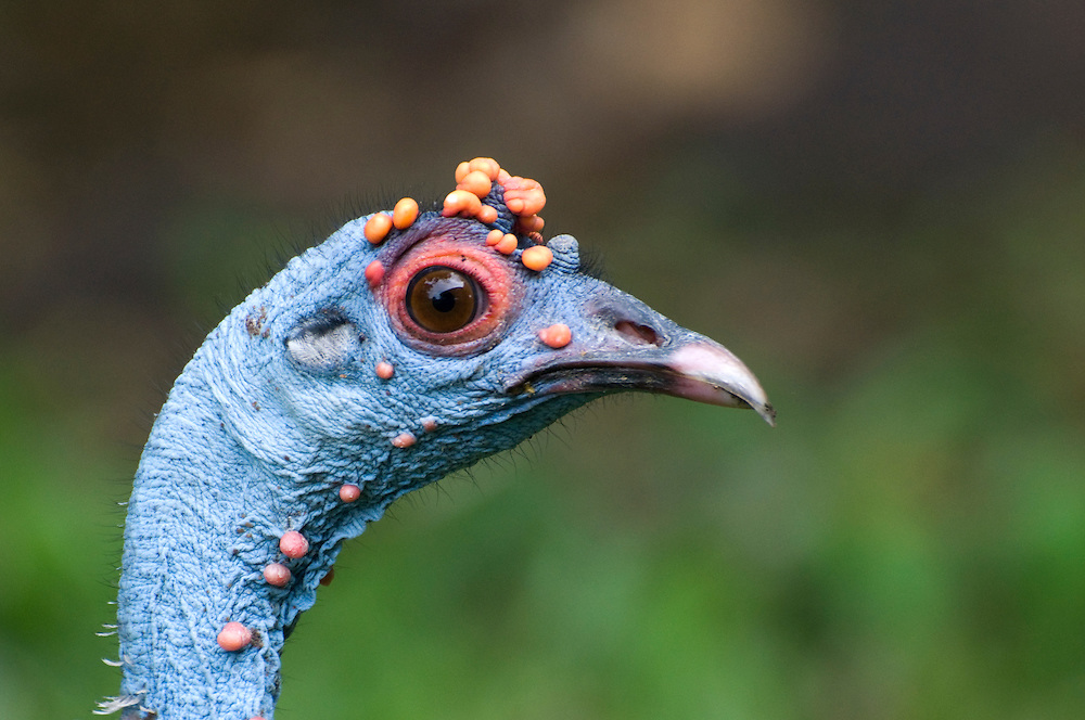 Ocellated Turkey (Meleagris ocellata) in Tikal, Guatemala.  The turkeys are closely related to North American wild turkeys, and have nodes on their heads that become more colorful and larger during breeding season.  July 2009.  (Photo/William Byrne Drumm)