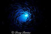 a swirling vortex of chevron or sawtooth barracuda, Sphyraena putnamiae or Sphyraena qenie, darkens the water above the photographer, Sipadan Island, off Borneo, Malaysia ( Celebes Sea )