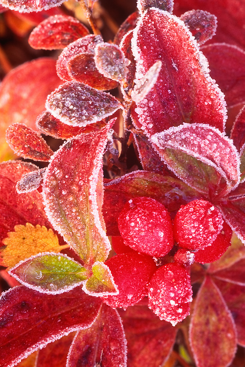 Lowbush cranberry with frost, Denali National Park, Alaska, USA