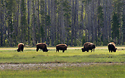 2003 Yellowstone National Park. There is a story about this photograph. After spending about a week in Yellowstone area staying at the cabins within the park. Ample time to see plenty of Bison. We couldn't find any until we saw this small herd through the trees. Not knowing if we could get to this pasture, but we did. I had a long lens and we also approached them slowed and staying behind the trees. We were far away, but they run fast, so we kept our distance. Not close enough to get close in one one bison, but it makes a good panoramic of bisons.