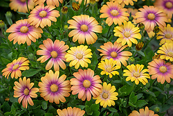 Osteospermum 'Serenity Blushing Beauty' - African daisy