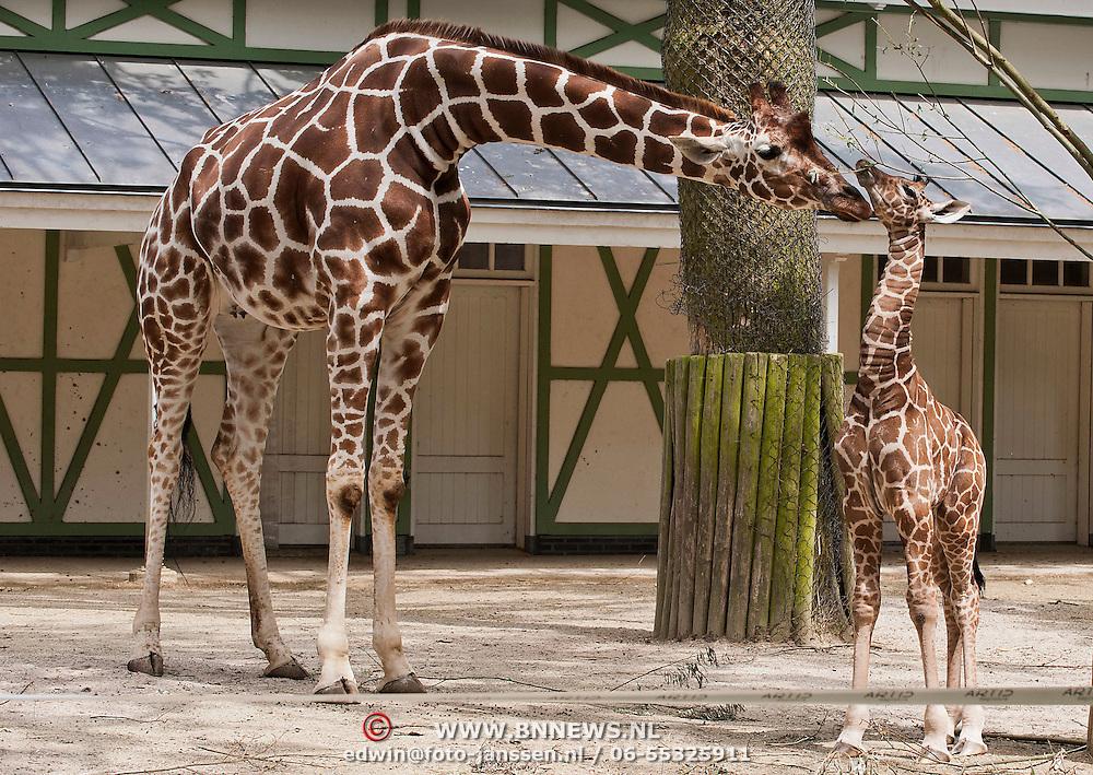 Giraffe geboren in Artis. Kalf zet woensdag om 13.45 uur eerste stapjes buiten. .Op zaterdagmorgen 16 juni is in Artis rond de klok van half vier een giraffe geboren. Hij draagt de Afrikaanse naam BASHU, dat briljant betekent. Het is een hengst en hij drinkt al volop melk bij zijn moeder.