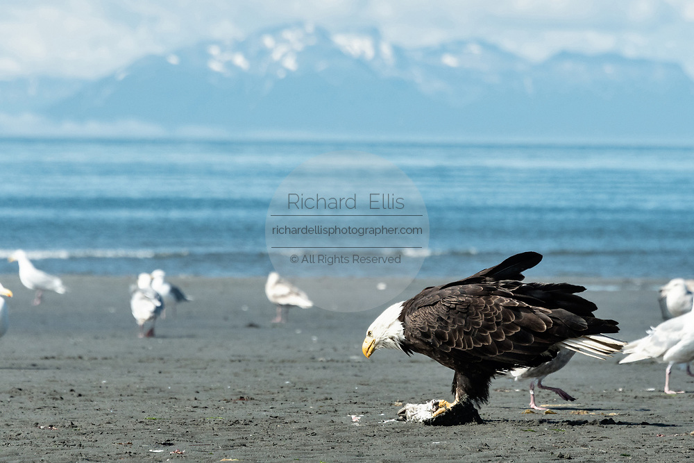 A bald eagle eats fish scraps surrounded by gulls on the beach at Anchor Point, Alaska.