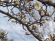 Emergence of Spring blossoms begin to soften the rugged skeletal shapes of Winter.