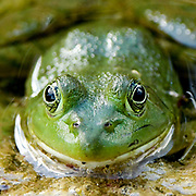 Bull Frog at LeRoy Oak Forest Preserve in St. Charles on Sunday, July 12, 2020. Photo by Mark Black