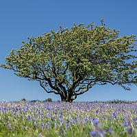 Dartmoor (Bluebells)