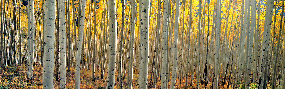 Dense aspen forests, such as this one near Aspen, Colorado, fill the western United States.