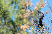 Photograph of Silky Flycatcher Male (Phainopepla nitens) getting his black feathers
