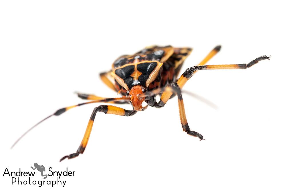 Giant mesquite bug nymph, Thasus sp., Iwokrama, Guyana, July 2013
