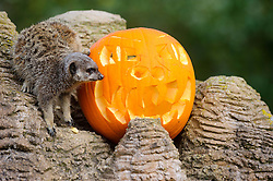 © Licensed to London News Pictures. 29/10/2013 Dunstable, UK. A meerkat with a Halloween pumpkin in it's enclosure at Whipsnade Zoo, Dunstable. The animals are given the spooky treats as part of their dietary enrichment programme.<br /> Photo credit : Simon Jacobs/LNP