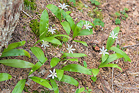 Queen's cups are a small plain white lily that often grows in vast carpets in the wet forests of the Pacific Northwest. After the flower wilts, a bright blue berry develops and although it is inedible for humans, it is eaten by grouse, who then spread the seeds for the next season.