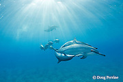 Hawaiian spinner dolphins or long-snouted spinner dolphins, or Gray's spinner dolphins, Stenella longirostris longirostris, with one dolphin upside-down in courtship pose, Hookena, Kona, Hawaii ( the Big Island ) Central Pacific Ocean