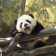 Giant Panda (Ailuropoda melanolueca) baby at San Diego Zoo, California. Captive Animal