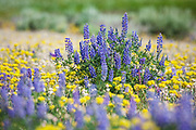 Lupine blooming in Yellowstone National Park