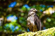 The Corcovado Nature Preserve on the Osa Peninsula of Costa Rica, Central America.  Common black hawk (juvenile)
