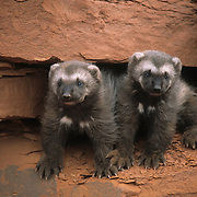 A pair of wolverine kits. Captive Animal