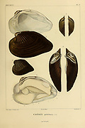 Castalia (bivalve) freshwater mussels Mollusks from the book 'Voyage dans l'Amérique Méridionale' [Journey to South America: (Brazil, the eastern republic of Uruguay, the Argentine Republic, Patagonia, the republic of Chile, the republic of Bolivia, the republic of Peru), executed during the years 1826 - 1833] Volume 5 Part 3 By: Orbigny, Alcide Dessalines d', d'Orbigny, 1802-1857; Montagne, Jean François Camille, 1784-1866; Martius, Karl Friedrich Philipp von, 1794-1868 Published Paris :Chez Pitois-Levrault. Publishes in Paris in 1843
