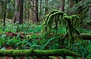 Mossy undergrowth dominates the old growth forest of Cathedral Grove, BC, Canada