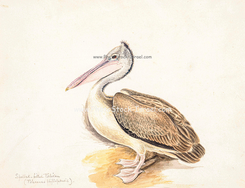 The spot-billed pelican (Pelecanus philippensis) or grey pelican, is a member of the pelican family. It breeds in southern Asia from southern Pakistan across India east to Indonesia. It is a bird of large inland and coastal waters, especially large lakes. It is endangered and becoming rare. 18th century watercolor painting by Elizabeth Gwillim. Lady Elizabeth Symonds Gwillim (21 April 1763 – 21 December 1807) was an artist married to Sir Henry Gwillim, Puisne Judge at the Madras high court until 1808. Lady Gwillim painted a series of about 200 watercolours of Indian birds. Produced about 20 years before John James Audubon, her work has been acclaimed for its accuracy and natural postures as they were drawn from observations of the birds in life. She also painted fishes and flowers. McGill University Library and Archives