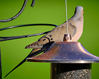 Mourning Dove.  Image taken with a Fuji X-T3 camera and 200 mm f/2 telephoto lens + 1.4x Teleconverter