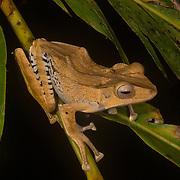 Borneo - Danum Valley - Reptiles and Amphibians