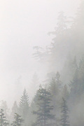 Thick fog helps to emphasize the layers of evergreen trees that grow at the edge of the Squamish River Valley near Brackendale, British Columbia, Canada.