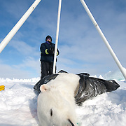 Katrina Knott, a research assistant for the USGS takes weight measurements  of a polar bear (Ursus maritimus) on the Beaufort Sea ice. Kaktovik, Alaska.