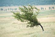 Windswept tree in flower meadow, Brasov-Buzau, Romania