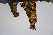 A reflection of a cheetah and her cub (Acinonyx jubatus) as they sit next to a water hole during the calving season of the great migration , Ndutu, Ngorongoro Conservation Area, Tanzania, Africa
