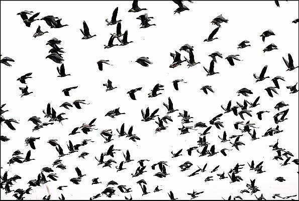 Nederland, Ubbergen, 15-11-2014 Wilde grauwe ganzen in de Ooijpolder. Elk jaar overwinteren tienduizenden ganzen in de Gelderse Poort en de uiterwaarden langs de rivier de Waal. Zij voeden zich met gras, vaak tot ergernis van boeren, veehouders die hun vee in de lente en zomer buiten willen laten grazen. Foto: Flip Franssen/Hollandse Hoogte