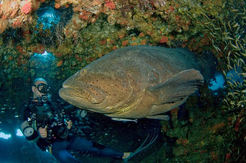 Goliath grouper Epinephelus itajara and scuba diver inside the wreck of the Mispah offshore Singer Island, FL. Endangered